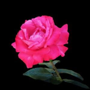 秋薔薇が優雅に