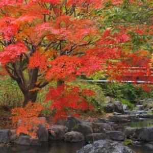 もみじ川の畔に赤く染まるもみじの木