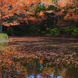 池も色づき始めたメタセコイヤ