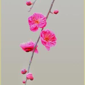 梅は枝ぶりに魅せられる