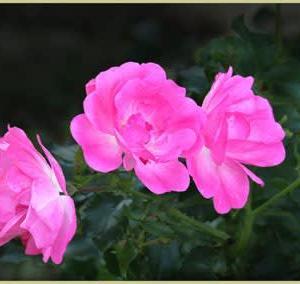 思い出・高貴な薔薇たち⑤