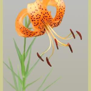思い出・歩く姿はユリの花⑤オニユリ