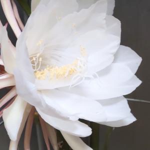 「月下美人」開花