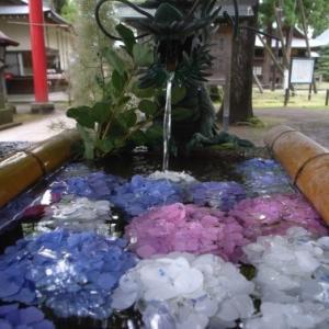 花手水と茅の輪くぐり@蚕養神社。