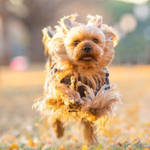 コハク、「一笑」懸命走るのだ!