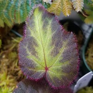 Begonia sp. Sumatera Utara