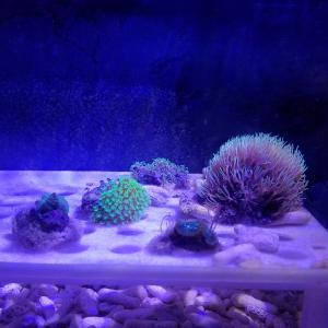 ミニ珊瑚水槽