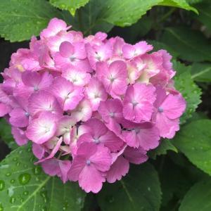 今年も紫陽花が咲きました♪熊本プリザーブドフラワー教室・アーティフィシャルフラワー教室Grace