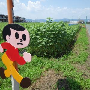 ひまわりの開花状況★不動浜