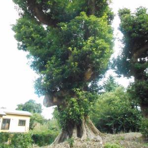 大須賀山塚の樹