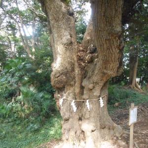 鷺沼八剱神社の御神木