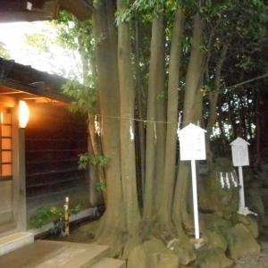 検見川神社の樫の木(子授かりの樫)