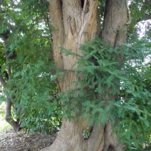 幕張金比羅神社跡の樹