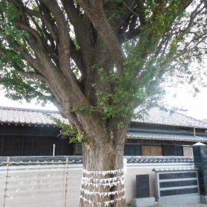 子守神社の銀杏