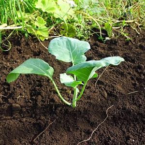 ブロッコリー 栽培