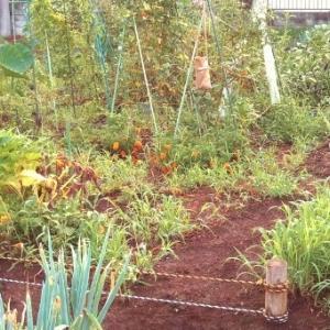 週末の作業と菜園の様子 8月24日