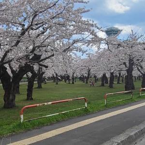 桜は満開なのに…