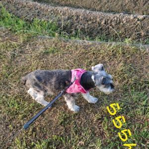 高齢犬の日常 緊張のお散歩編