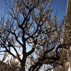 20210223tue  梅の花が綺麗!