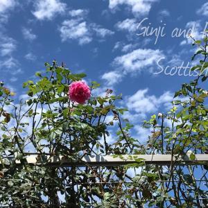 夏の空♪にバラ♪ピンクアナベル2は白っぽく咲く?