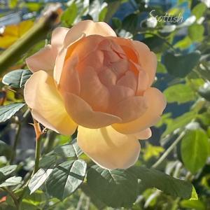 香る秋バラ♪ジュード♪神が降りた〜♪