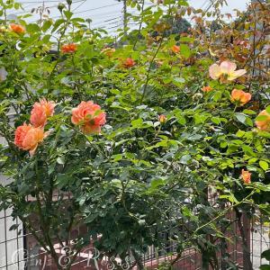 ブロ友さんにもらったバラを2本植え♪