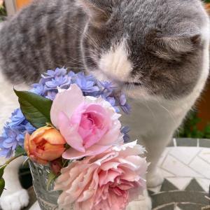 2番花が美しいウエッジウッドローズ!蔓延防止でお酒が飲めない!