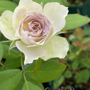 言われて一番嬉しいこと♪ラピスヴェール シャンスゼブラ テナチュール 美しい切り花