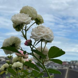 ハイジになれる夏の雲♪ ピンクプロスペリティ