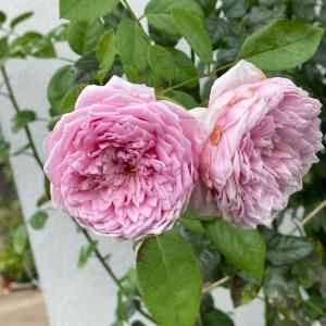 時々、咲いてくれるだけで嬉しいバラ♪夏でも元気!スピリットオブフリーダム♪