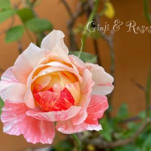 それが楽しいシャンスゼブラ♪ 返りたがりの薔薇
