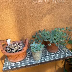 ブロ友さんにいただいたグリーンを鉢植えに♪