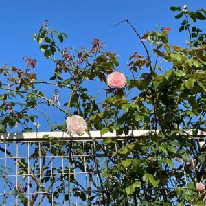 チビ苗と大きな苗 切り花バラ編