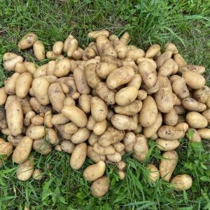 いい感じにシャガイモを収穫しました~!