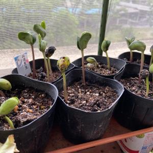 ベランダ菜園で黒豆が発芽しました~!