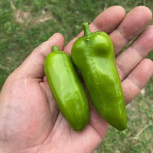 ピーマンの摘果を兼ねた初収穫です~!