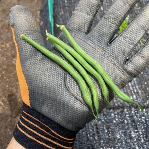 インゲンを初収穫しました~!