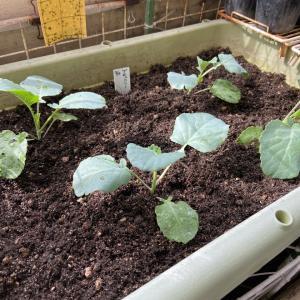 ベランダ菜園でもブロッコリーを定植~!