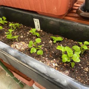 葉物野菜をプランターに定植させました~!