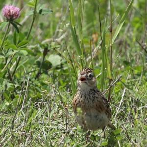 夏を呼ぶ鳥、オオヨシキリさんを見かける