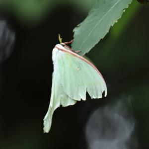 珍しい蛾のオオミズアオと出会った鳥散歩🏃💨