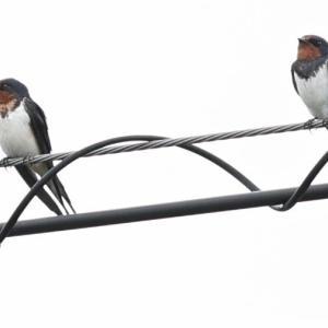 雀と燕の幼鳥くんが可愛い(;^ω^)