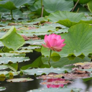 梅雨の晴れ間から見えた👀 蓮やカワセミや神様トンボや…季節はちゃんと進んでいます( ^o^)ノ