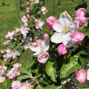 安心・安全 有機栽培「エコファーマー」美味しい果物・北海道認定果樹園・・清久果樹園日記