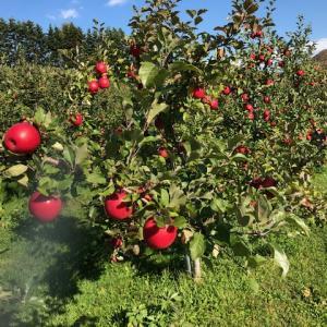秋の味覚「旬な果物」早生ふじ「昂林」産地直送開始です。・・・有機農法 清久果樹園より