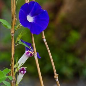 巻いて巻かれて、大輪の花が咲く