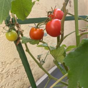ベランダ菜園の収穫とそっくりさん発見