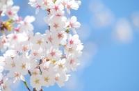鶴岡市 桜 花見散策には最高 小真木原公園
