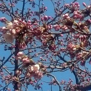 桜日記0404