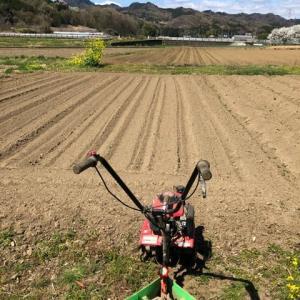サトイモを植えました
